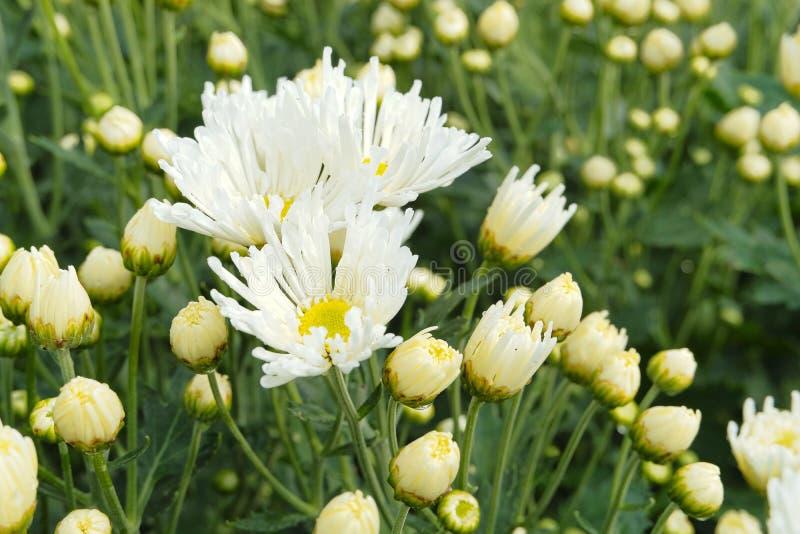 Feche acima das flores de florescência bonitas do crisântemo com as folhas verdes no jardim foto de stock royalty free