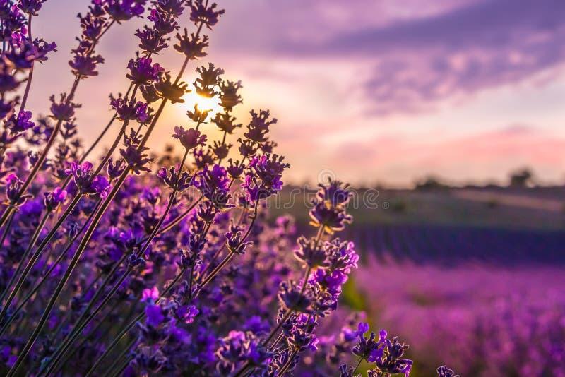 Feche acima das flores de florescência da alfazema sob os raios do por do sol do verão fotografia de stock royalty free