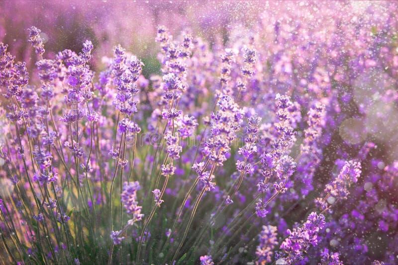 Feche acima das flores de florescência da alfazema sob os raios do sol do verão Fundo da alfazema foto de stock royalty free