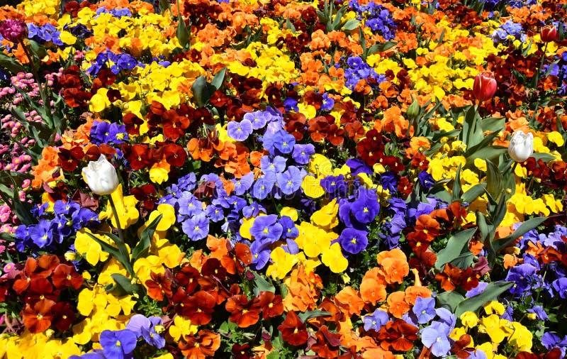 Feche acima das flores multicolour do amor perfeito imagens de stock