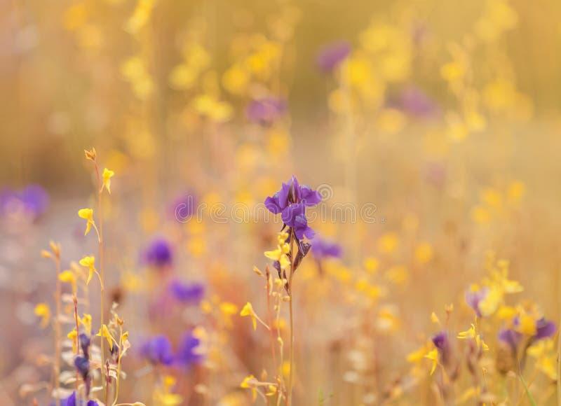 Feche acima das flores pequenas tropicais roxas dos delphinioides do Utricularia ou da grama selvagem de Dusita imagens de stock royalty free