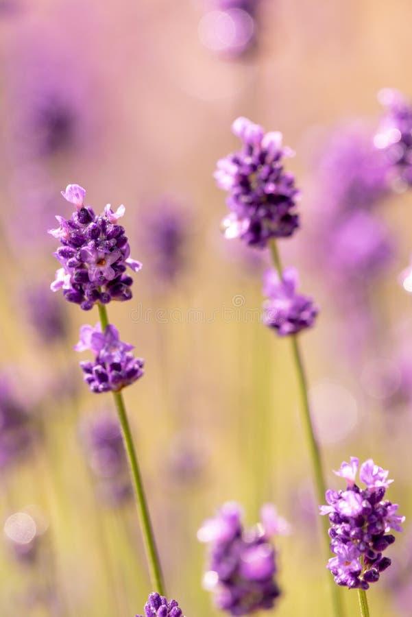 Feche acima das flores roxas da alfazema com fundo macio do foco foto de stock