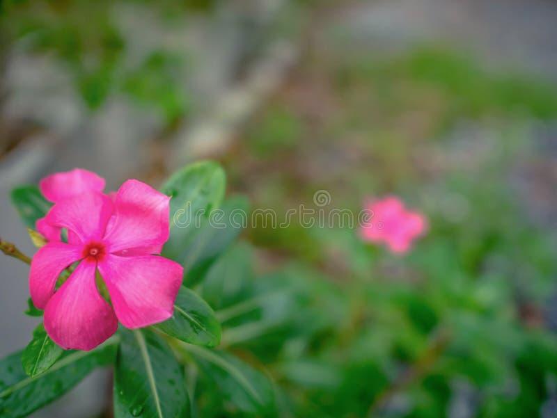 Feche acima das flores roxas do Adenium fotografia de stock