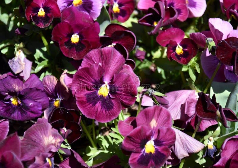 Feche acima das flores roxas do amor perfeito imagem de stock