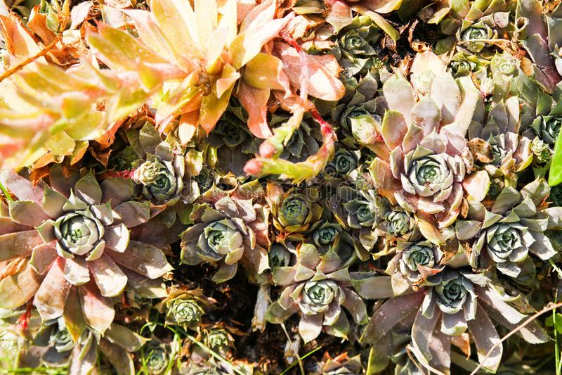 Feche acima das flores sempre-verdes do sempervivum do houseleek fotos de stock