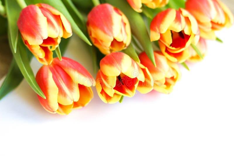 Feche acima das flores vermelhas e amarelas da tulipa no branco Ramalhete colorido de flores frescas do tulip da mola imagens de stock royalty free
