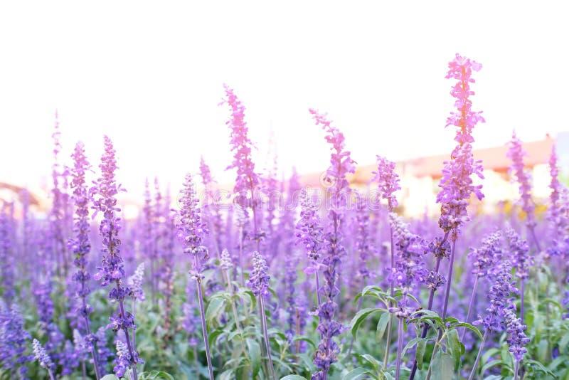Feche acima das flores violetas bonitas da alfazema no jardim fotografia de stock royalty free