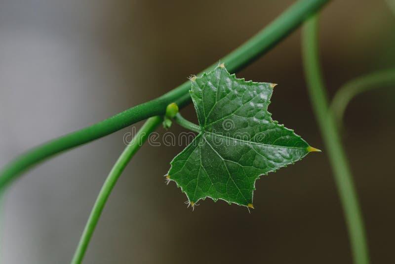 Feche acima das folhas novas de Ivy Gourd foto de stock