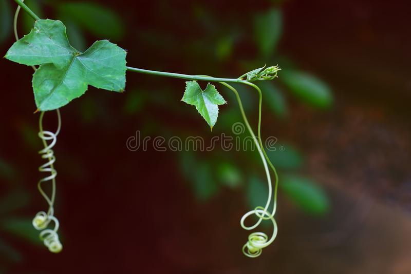 Feche acima das folhas novas de Ivy Gourd fotos de stock royalty free