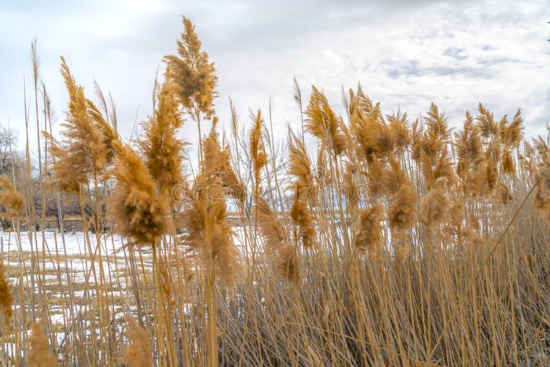 Feche acima das gramas marrons com um terreno nevado vasto no fundo imagem de stock royalty free