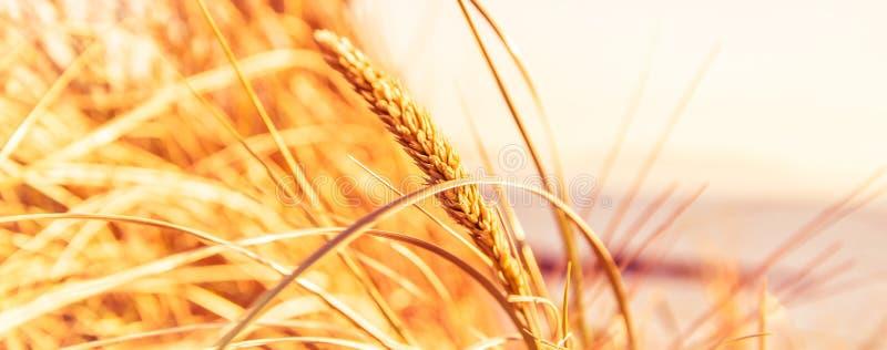 Feche acima das hastes do trigo em um fundo branco foto de stock