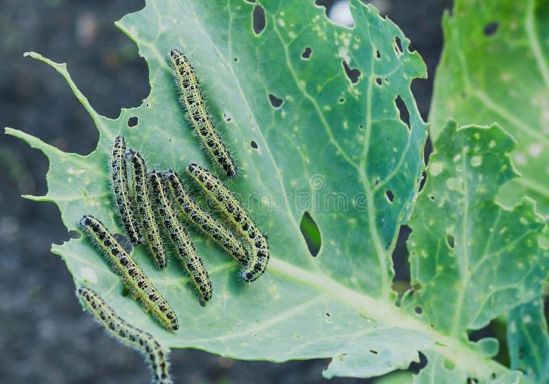 Feche acima das lagartas da couve que comem furos na folha da couve fotografia de stock