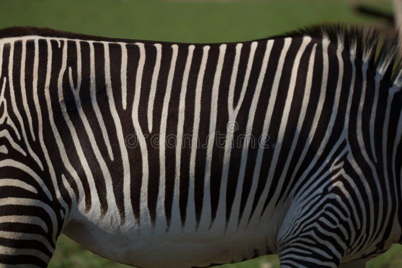 Feche acima das listras preto e branco da zebra com fundo verde fotografia de stock