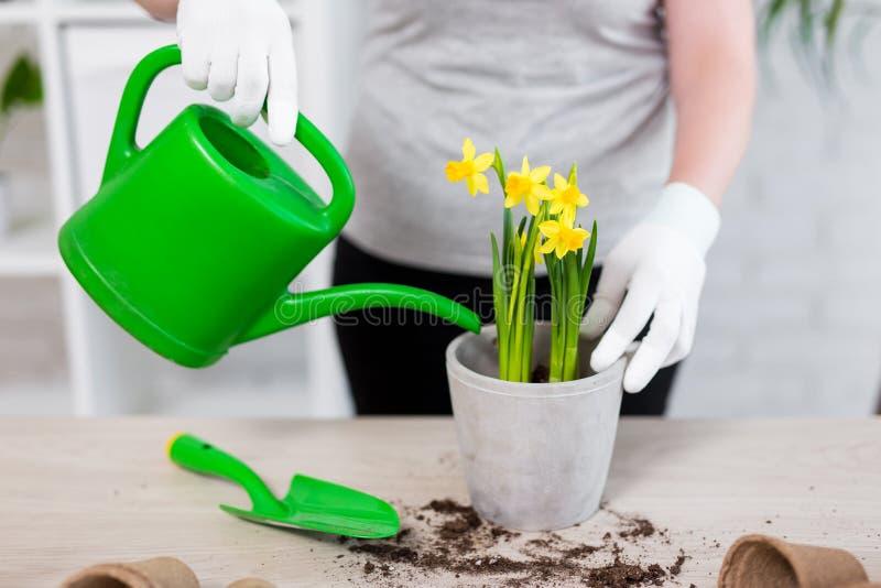 Feche acima das mãos fêmeas que molham flores no potenciômetro em casa imagem de stock