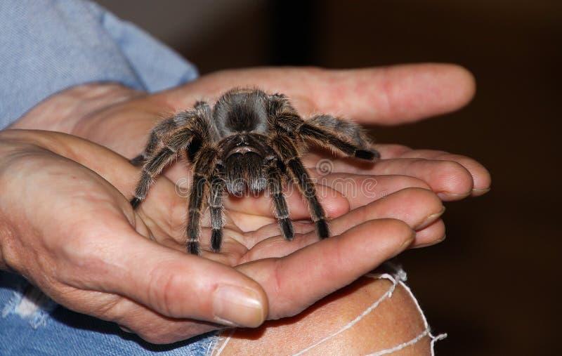 Feche acima das mãos humanas que guardam a aranha venenosa da tarântula foto de stock