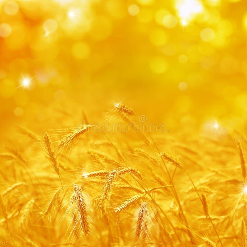 Feche acima das orelhas maduras do trigo Contexto bonito das orelhas de amadurecimento imagem de stock royalty free