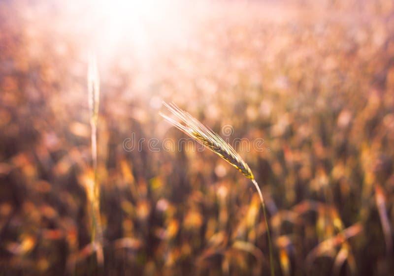 Feche acima das orelhas maduras do trigo Contexto bonito das orelhas de amadurecimento do campo dourado Bokeh borrado fundo da na foto de stock