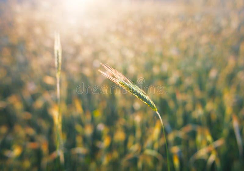 Feche acima das orelhas maduras do trigo Contexto bonito das orelhas de amadurecimento do campo dourado Fundo da natureza e agric foto de stock royalty free