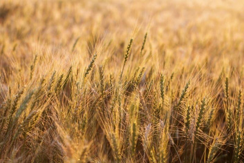 Feche acima das orelhas maduras do trigo Contexto bonito das orelhas de amadurecimento do campo dourado Fundo da natureza e bokeh fotos de stock royalty free