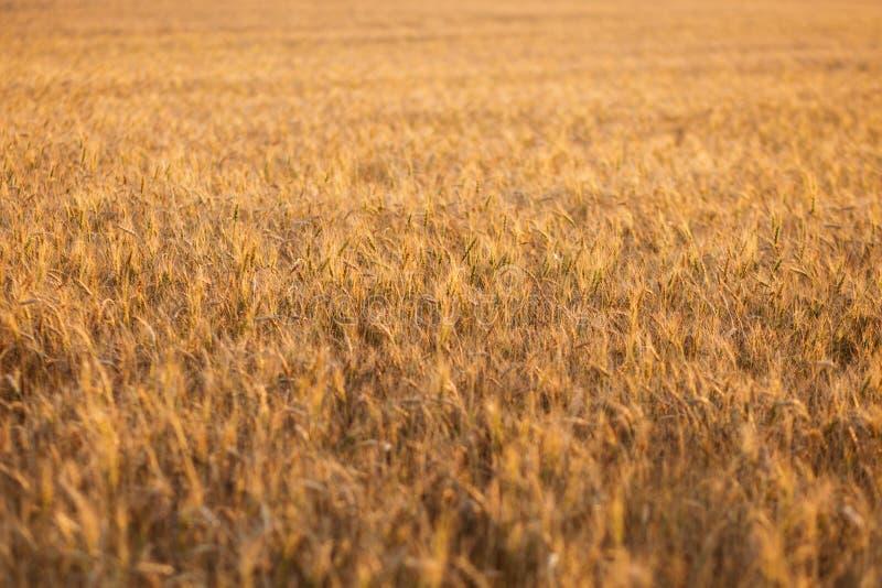 Feche acima das orelhas maduras do trigo Contexto bonito das orelhas de amadurecimento do campo dourado Fundo da natureza e bokeh imagem de stock