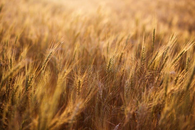 Feche acima das orelhas maduras do trigo Contexto bonito das orelhas de amadurecimento do campo dourado Fundo da natureza e bokeh foto de stock royalty free