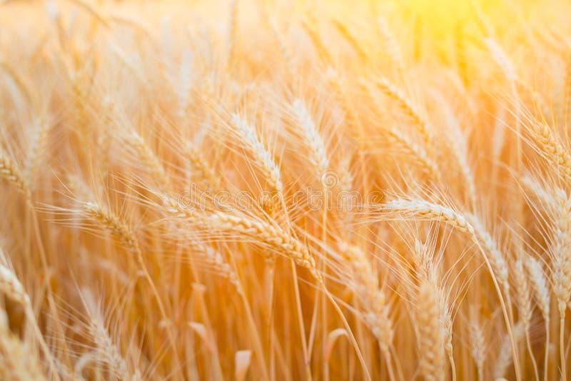 Feche acima das orelhas maduras do trigo Contexto bonito das orelhas de amadurecimento do campo dourado imagens de stock