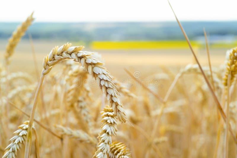 Feche acima das orelhas maduras do trigo no campo contra o céu bonito com nuvens Foco seletivo, bokeh, agricultura, colheita imagens de stock royalty free