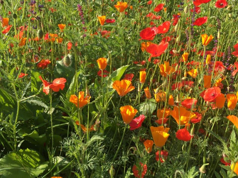 Feche acima das papoilas e dos wildflowers fotografia de stock