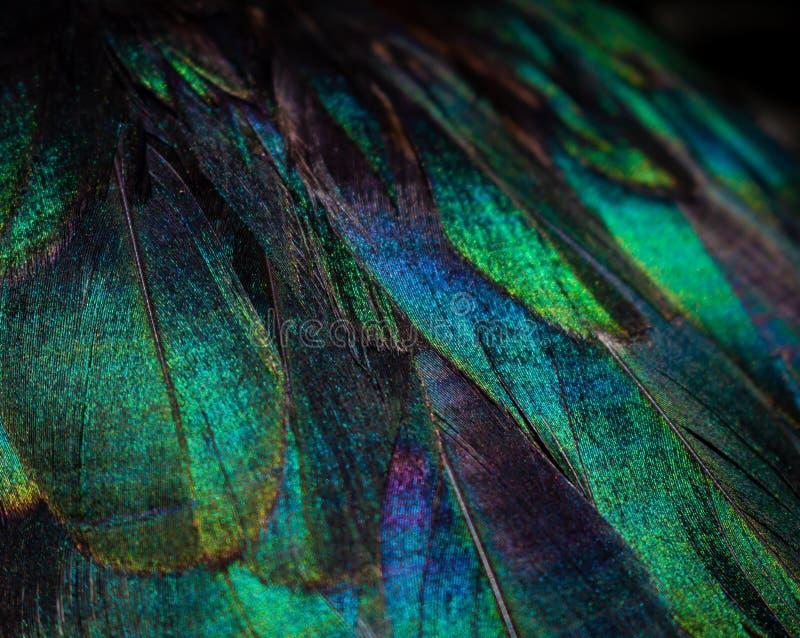 Feche acima das penas coloridas do pato Cores vívidas foto de stock