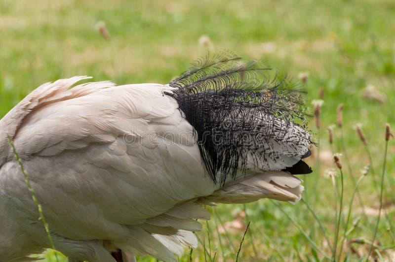 Feche acima das penas de cauda bonitas do pássaro dos íbis sagrados imagens de stock royalty free