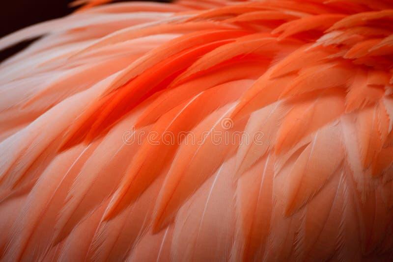 Feche acima das penas do flamingo imagem de stock royalty free