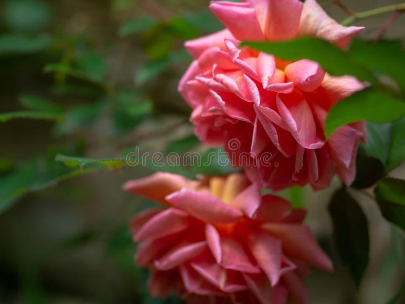 Feche acima das rosas cor-de-rosa minguantes cercadas pela folha imagem de stock