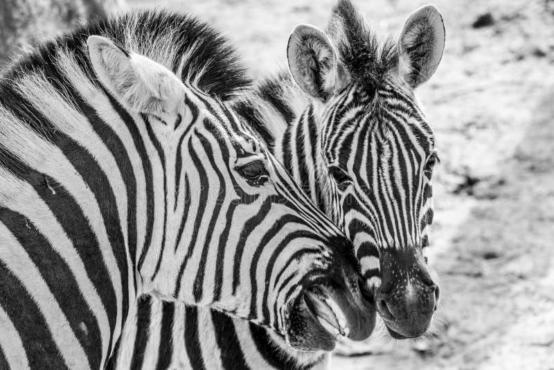 Feche acima das zebras de uma cena de amor dois fotos de stock
