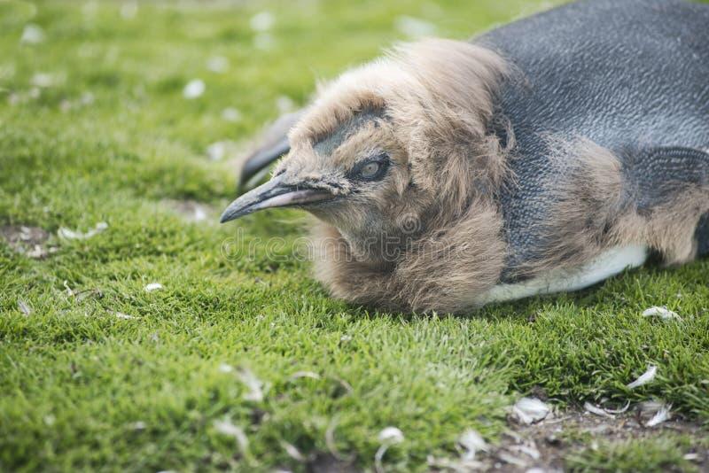 Feche acima de Chick King Penguin no ponto voluntário foto de stock