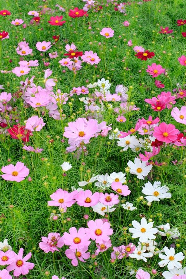 Feche acima de colorido bonito do campo de flores do cosmos no plantatio imagens de stock royalty free