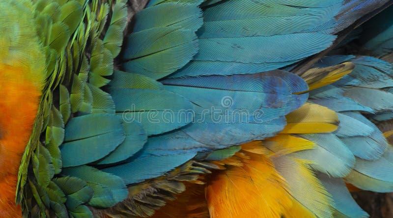 Feche acima de colorido de Catalina Macaw Hybrid entre o escarlate da arara e penas azuis e amarelas do ` s do pássaro da arara fotografia de stock
