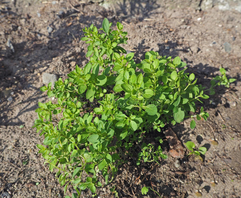 Feche acima de crescer o orégão verde fresco foto de stock royalty free