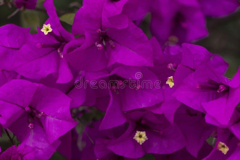 Feche acima de Curazao ou de flores da buganv?lia com as flores roxas com as folhas verdes frescas na luz do ver?o com espa?o par fotos de stock