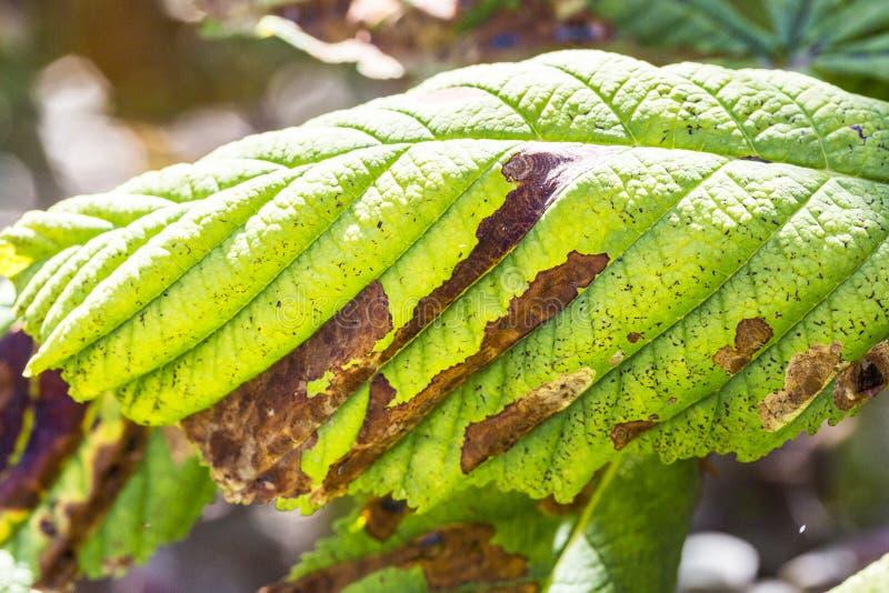 Feche acima de dano às folhas do ohridella de Cameraria da traça do mineiro da castanha foto de stock
