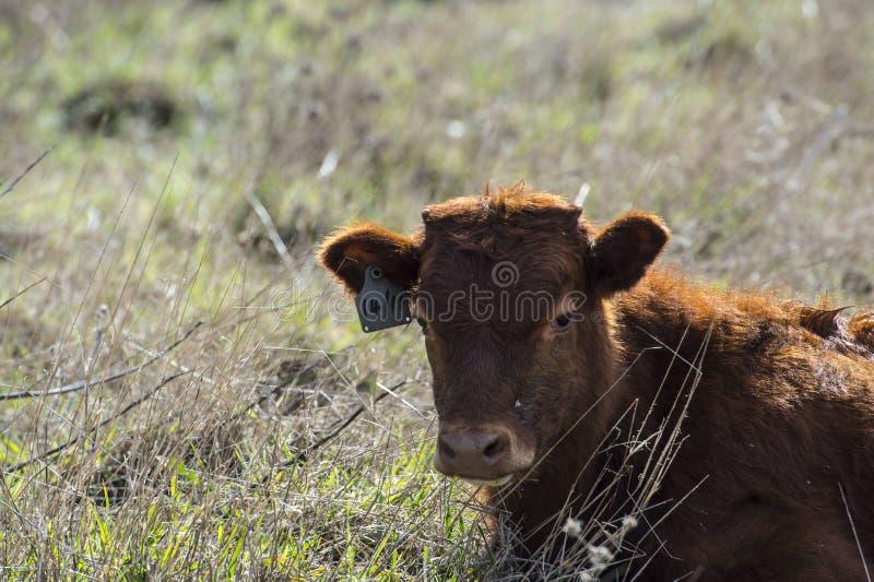 Feche acima de Dexter Cow vermelho, considerado uma raça rara, sentando-se no pasto imagens de stock