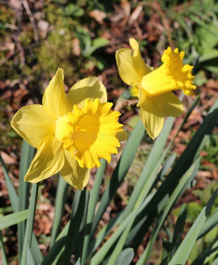Feche acima de dois narcisos amarelos fotografia de stock