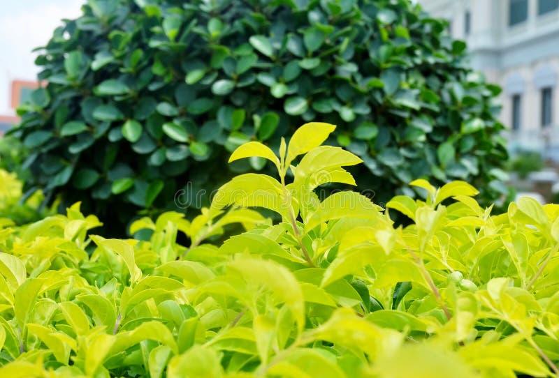 Feche acima de Duranta Ereta ou plantas douradas da gota de orvalho imagem de stock royalty free