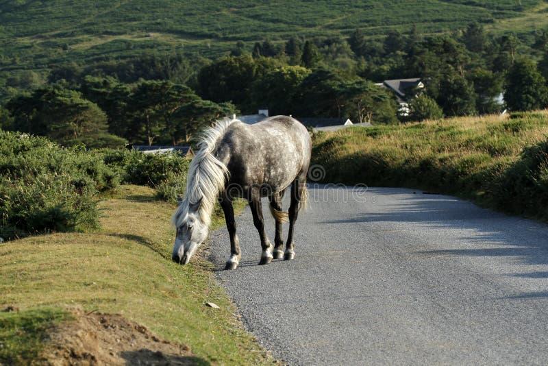 Feche acima de Grey Dartmoor Pony fotografia de stock royalty free