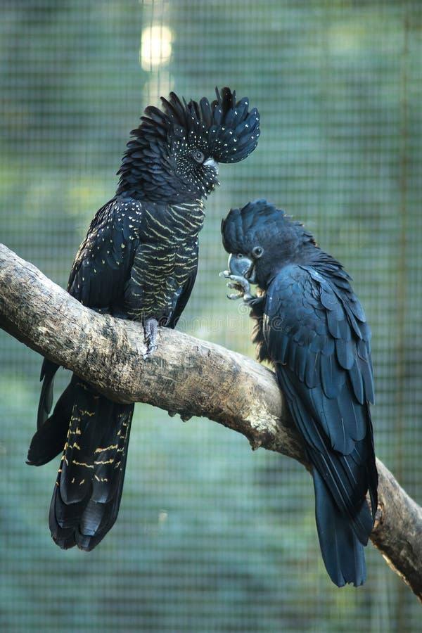 Feche acima de preto e de escuro - pássaros azuis da cacatua fotos de stock