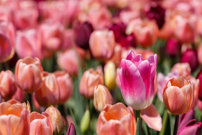 Feche acima de Tulip Spring Flower Peach Background do rosa e a branca imagens de stock