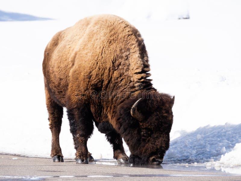 Feche acima de um americano Bison Drinking de uma po?a da borda da estrada foto de stock royalty free