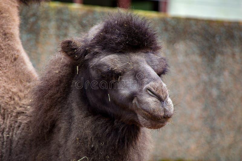 Feche acima de um camelo fotos de stock royalty free