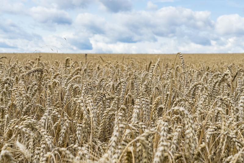 Feche acima de um campo das colheitas e do céu azul durante as horas de verão como um fundo para cultivar imagens de stock