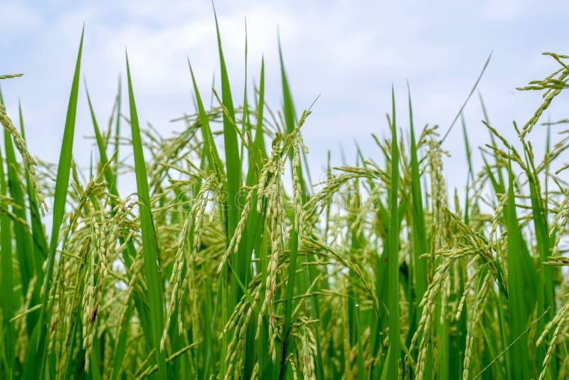 Feche acima de um campo verde do arroz foto de stock royalty free