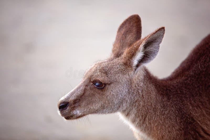 Feche acima de um canguru australiano na praia fotografia de stock royalty free